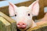 Настоящее и будущее отечественного рынка комбикормов для свиней