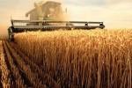 Россия остается одним из мировых лидеров по производству пшеницы