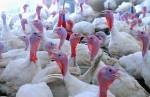 Строительство птицеводческого комплекса по выращиванию и переработке мяса индейки в д. Ставотино Лужского района Ленинградской области